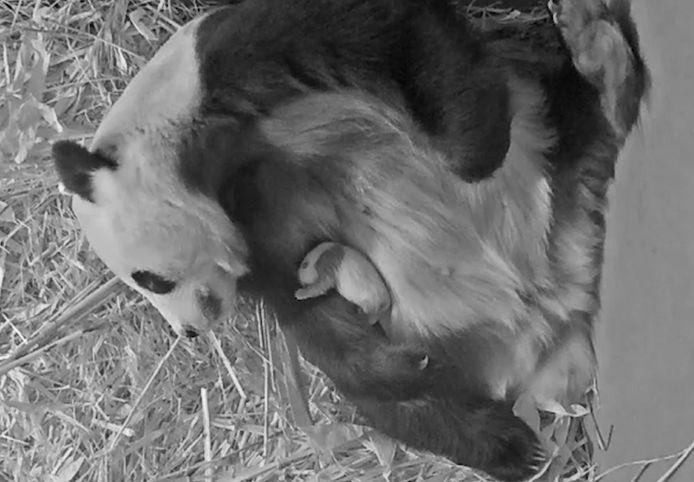 De mini-reuzenpanda is inmiddels een maand oud.