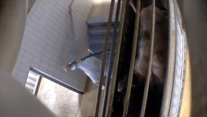 De beelden zijn schokkend: koeien krijgen stroomstoten en worden zonder verdoving gekeeld.