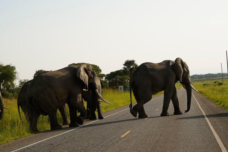 Nelson Okello (28) heeft een afkeer tegen olifanten. 'Ze eten mijn gewassen op, ze veroorzaken voedseltekorten.' Beeld Michele Sibiloni