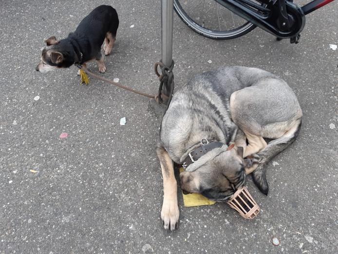De twee honden, vastgebonden aan een paal.