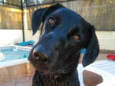 Spaanse Quattro doet als eerste hond ooit mee aan Dordtse City Swim