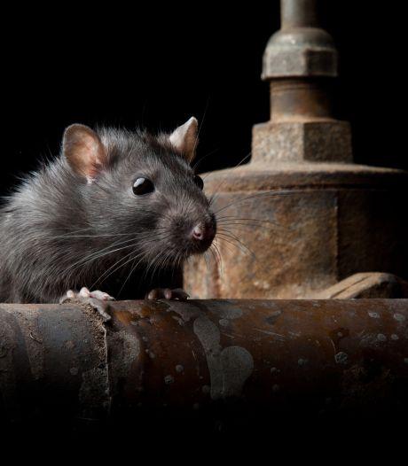 Cauchemar à New York: un homme tombe dans un trou rempli de rats