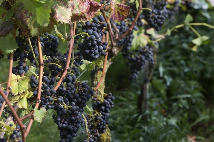 In Groesbeek wordt 22 hectare wijn verbouwd.