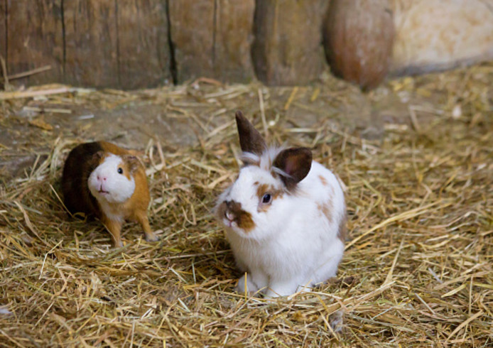 Cavia's en konijnen worden regelmatig gedumpt bij kinderboerderijen.