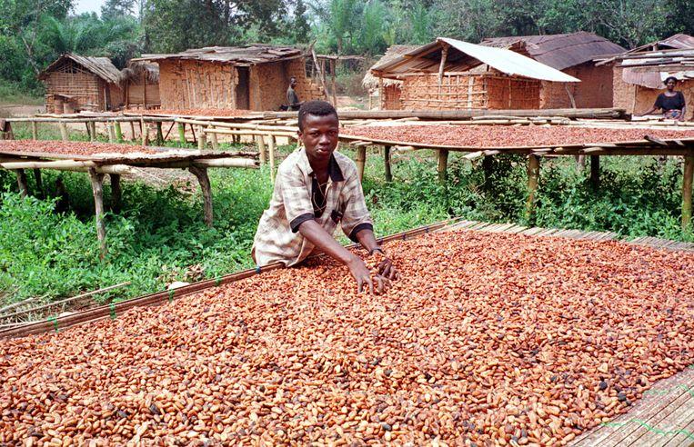 Een cacaoboerderij in Ghana. Beeld AFP