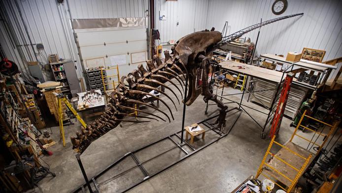 Het skelet van de T.rex in de VS