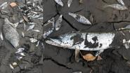 Opnieuw honderden vissen dood in Brasschaat na fout van aannemer