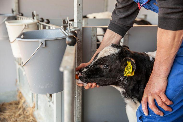 Veehouder Bart van Dijk helpt een tweeënhalve dag oud stierkalfje met de speen van de emmer melk. Omdat de regeling voor het oormerken vanaf 1 april voorschrijft dat de dieren direct na de geboorte moeten worden geoormerkt, zit er nog wat bloed aan het oormerk.  Beeld Harry Cock / de Volkskrant