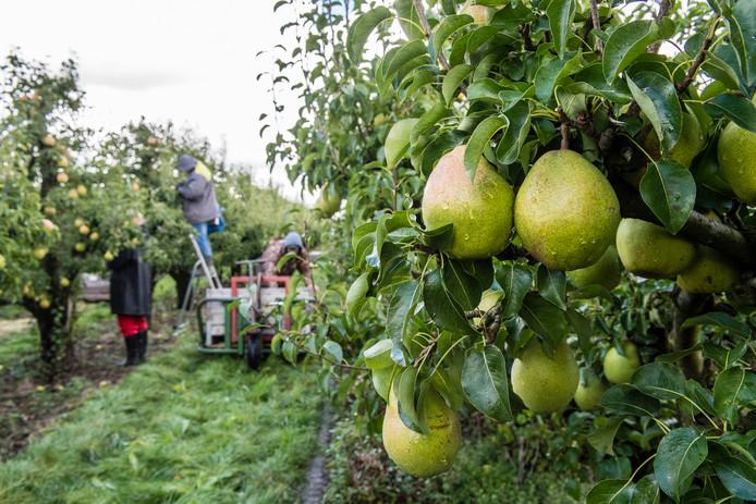 Westende fruitteelt, peren oogst in Fijnaart. Foto: Tonny Presser/Pix4Profs