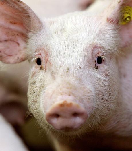 Varkensbedrijf Liessel wil uitbreiden: grote zorgen bij buurtbewoners