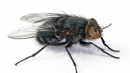 Huisvlieg bedreigt Zuidpool