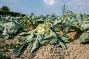 """Groenten lopen schade op door de hitte in Ardooie. """"Ik ben altijd al veel respect gehad voor landbouwers"""", aldus de frontman van het Vlaams Belang."""