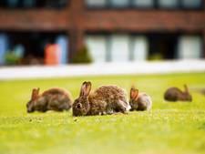 Buurt vraagt gemeente: laat ons de gedumpte kippen en konijnen vangen
