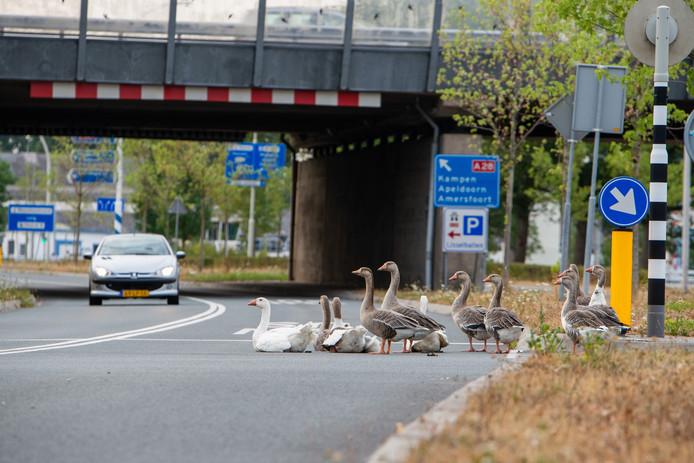 De ganzenfamilie verhuist vanaf de Katerdijk naar een opvangcentrum in Drenthe.