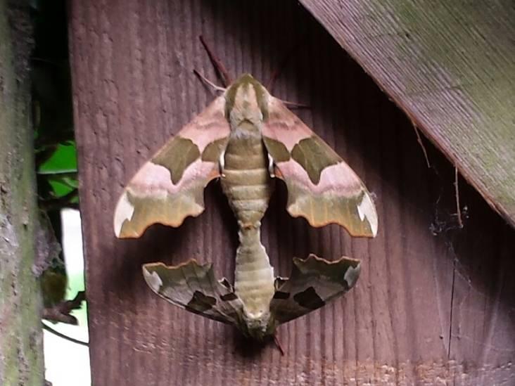 Parende vlinders zijn 'beloning' voor de kleine, wilde tuin van Theo