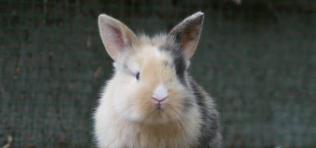 Aaiprotocol voor konijnen in Ahoy