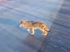 Wolf stak drukke N36 over, dode schapen niet door wolf gegrepen