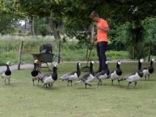 Kinderboerderij uit Zutphen met handen in het haar over kruiwagen vol ganzenpoep per dag