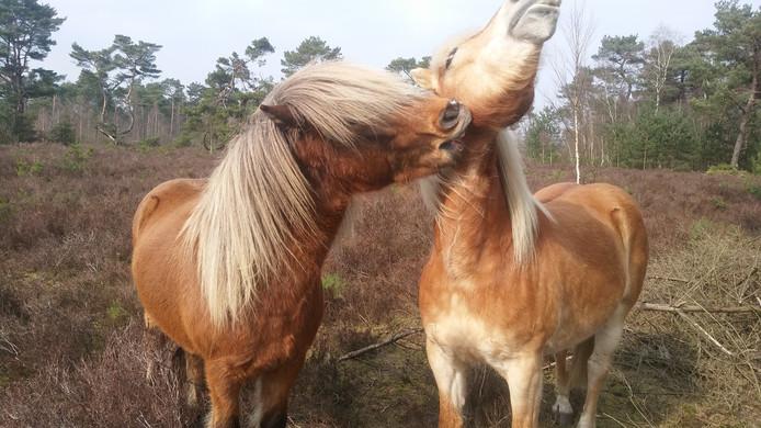 Paarden en pony's zijn sociale kuddedieren.