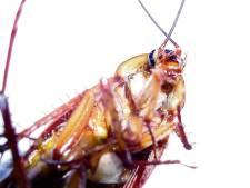 Kakkerlak dreigt onoverwinnelijk te worden