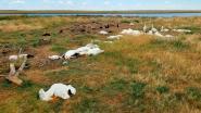 Hagelstorm slacht 11.000 vogels af in Montana