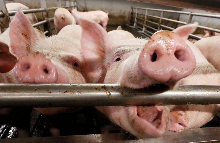 Varkens op een varkensbedrijf.