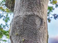 Pleidooi onderzoeker voor bestrijden processierups: kap eikenbomen, of spuit haarlak