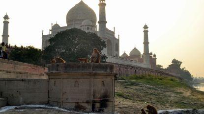 """Katapulten ingezet om aapjes aan Taj Mahal weg te jagen na """"ontvoering"""" van baby met dodelijke afloop"""
