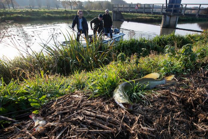 Almen. In de Berkel tussen Lochem en Almen zijn duizenden dode vissen gevonden. Dat is een gevolg van de leidingbreuk eerder deze week waardoor vervuild water de rivier instroomde. Vissers proberen bij de stuw ter hoogte van de Velhorst de nog levende vissen te redden, op de kant ligt een dode snoek.