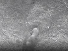 IJsbeertweeling geboren in Ouwehands Dierenpark