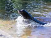 Safaripark Beekse Bergen wacht op komst zeeleeuwen