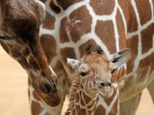 Beschuit met roze muisjes in Blijdorp, want er is een girafje geboren