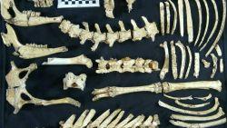 Goed bewaard fossiel van prehistorisch hert gevonden in Argentinië