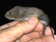 Feest voor de noordse woelmuis als nieuwe inlaat voor spaarbekken Biesbosch klaar is