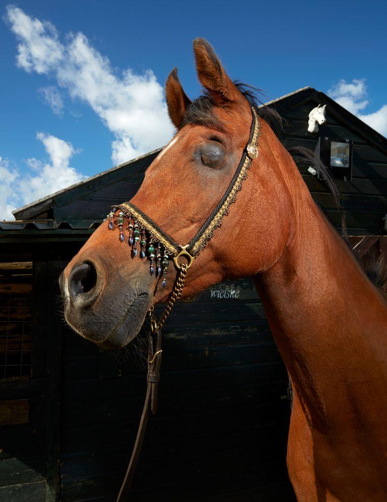 G.B. Habibi (21), Arabisch volbloedpaard, Oostzaan Beeld Isabella Rozendaal