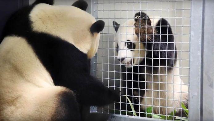 Panda's Wu Wen en Xing Ya hebben een rendez vous, hier nog wel met een hek ertussen.