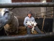 Schapenhouder uit De Bilt krijgt bij voeden vijfling hulp van koeien