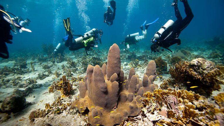 Duikers bij Curaçao planten driehoekige tegeltjes met poliepen die kunnen uitgroeien tot een nieuwe koraalkolonie. Beeld Paul Selvaggio