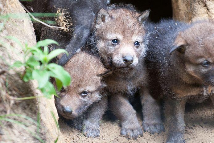 In juni vorig jaar werden in DierenPark Amersfoort vier wolvenwelpjes geboren (archieffoto).
