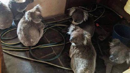 Foto van koala's die na hun redding bekomen in woning, laat niemand onberoerd