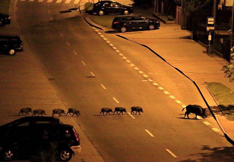 Een zeug en haar biggetjes steken 's nachts de straat over in Polen. Beeld REUTERS