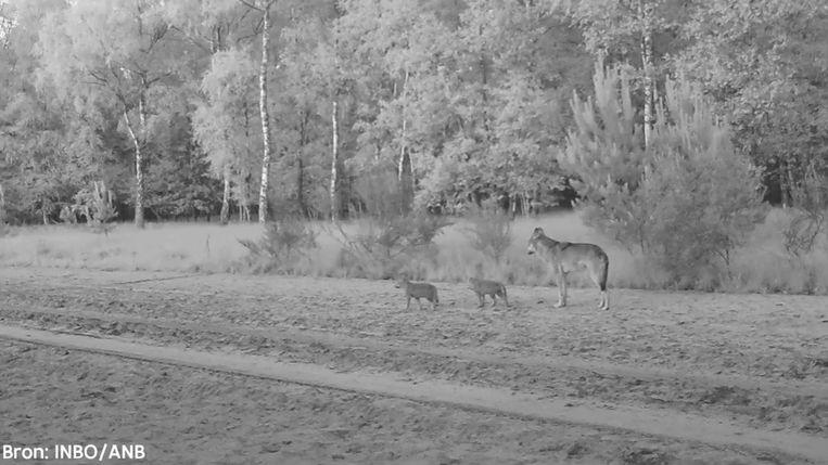 De wolvenwelpjes werden vastgelegd op beeld.