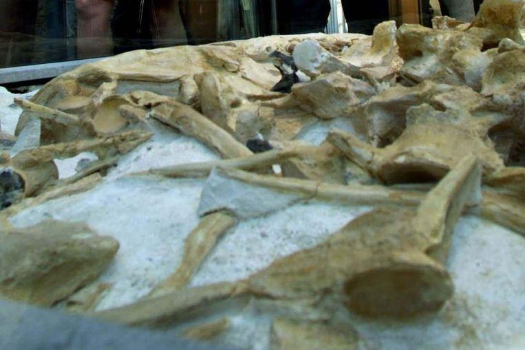 Botten van de mosasaurus. (ANP) Beeld