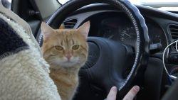 VIDEO. Ontmoet Tip, de taxirijdende kat