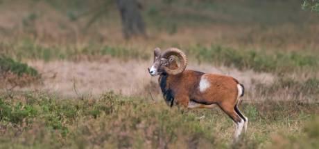 De wolf past niet in het verdienmodel van de Hoge Veluwe (en de moeflon wel)