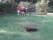 Bijzonder: boer uit Beltrum mist één koe en krijgt er drie terug
