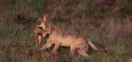 14 dode schapen in Emst: kregen jonge wolven hier een lesje jagen?