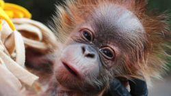 Schattige orang-oetan geboren via keizersnede in Amerikaanse zoo