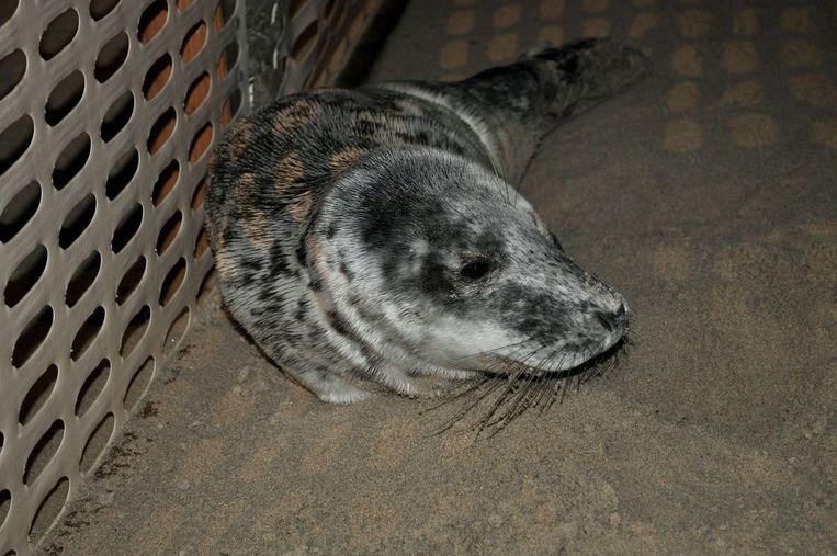 De verzwakte zeehondenpup kon snel gevangen worden.