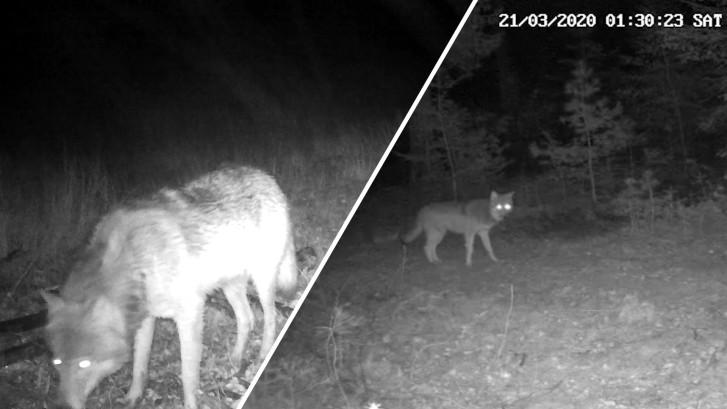Unieke beelden: wolven breiden territorium op de Veluwe uit